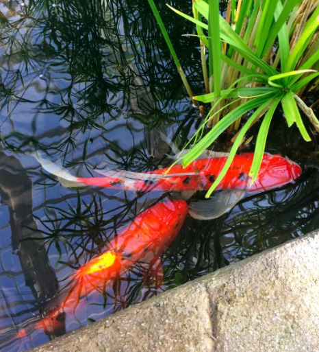The koi pond for Koi pool opening times