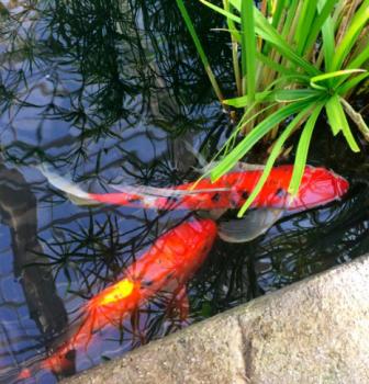 The Koi Pond
