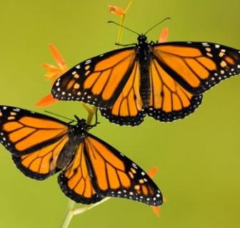 Monarch Walk Series this Friday!